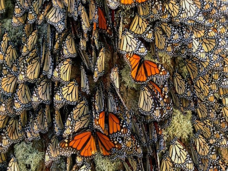 Will Monarchs be added to U.S. federal protection this year?