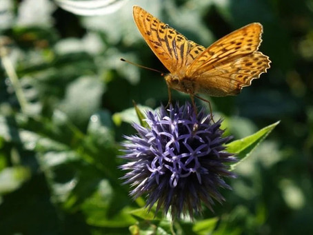 Backyard gardens are powerhouse for pollinators