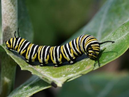 Oaks are caterpillar champions
