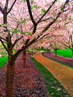 Cherry Blossoms Path