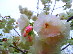 Droplets of Cherry Blossoms