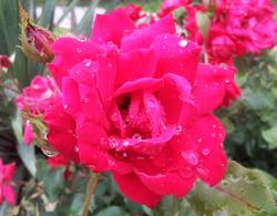 Raindrops of Love