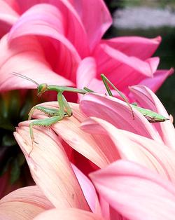 Friendly Praying Mantis