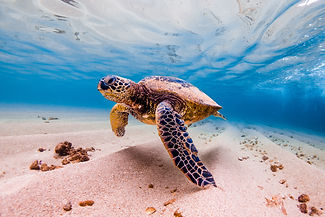 An endangered Hawaiian Green Sea Turtle