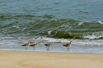 Four Willets enjoying Pea Island on Hatteras Island, NC. OBX