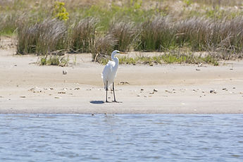 Pea Island by SEAcret Treasure is home to the most amazing wildlife!  Hatteras Island, North Carolina.