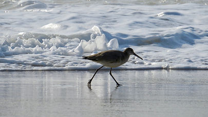 Sandpiper on the shore as waves crash on