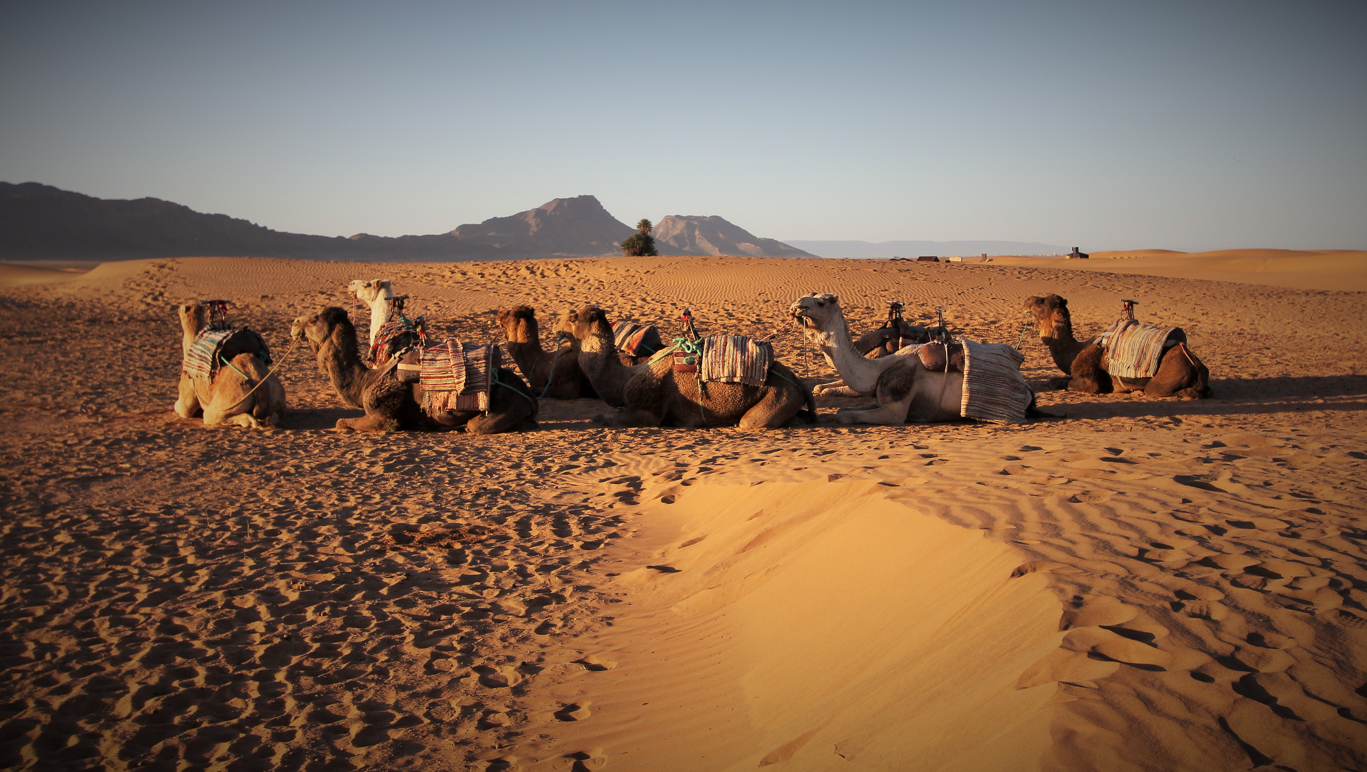 Zagora Desert Camel