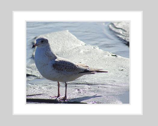 Sea Gull Print