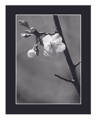 Blooming Black and White Print
