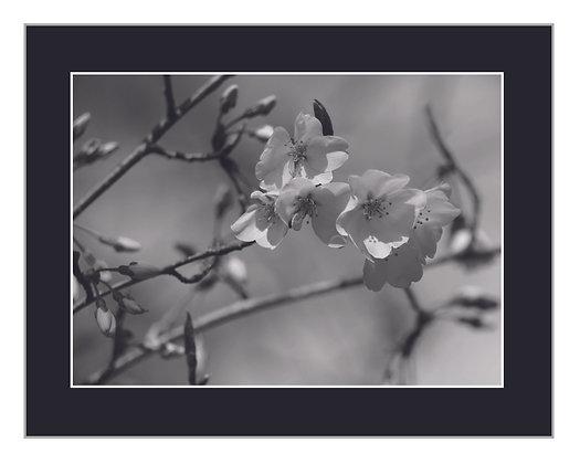 Blossoms Black and White Print