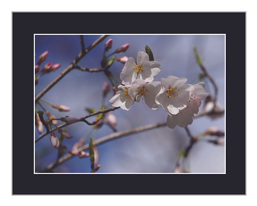 White Blossoms Print
