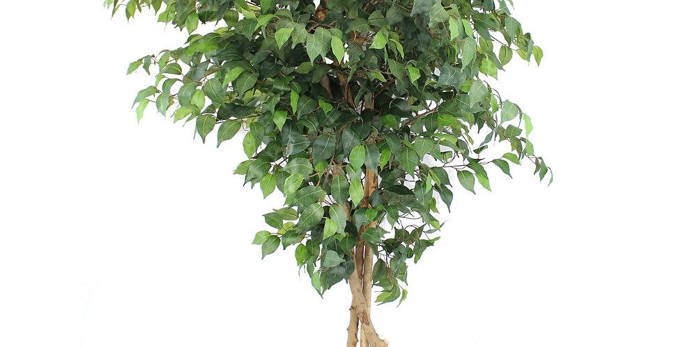 Decorative Ficus Silk Tree, Green 6 feet high