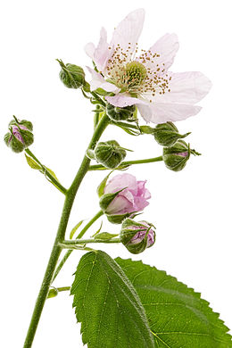 Flowers of blackberry, lat. Rubus frutic