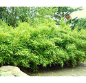 bambus_bimbo_miljø_hd.jpg