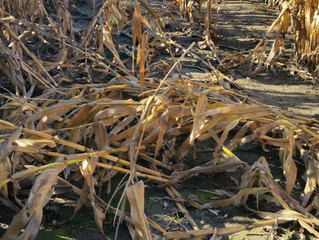 How do you get good corn rootworm pressure?