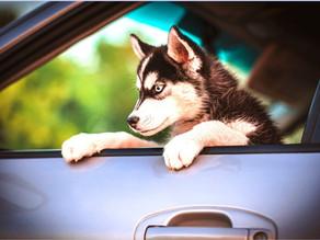 Le chiot et la voiture : source de stress ?