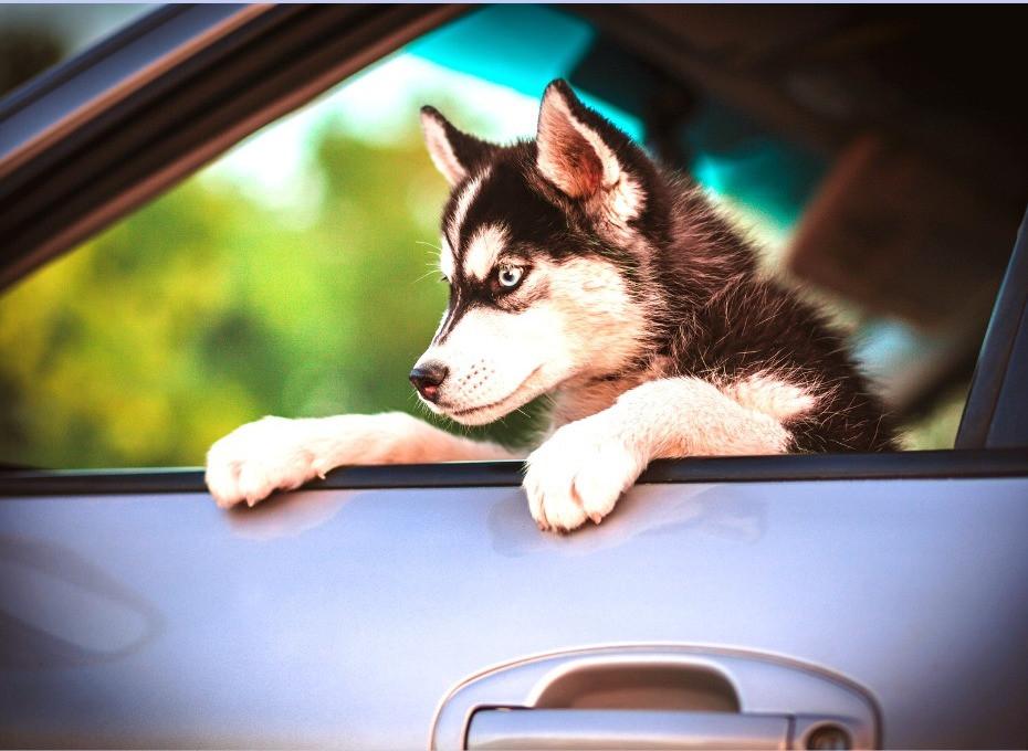un chiot dans une voiture my dog education