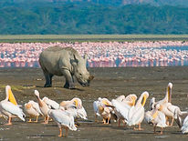 White-Rhino-Lake-Nakuru--Africa-Overland