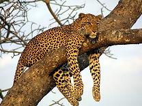 Leopard-209631368201897_crop_616_463.jpg