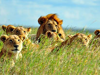 Lions-in-Grass-Africa-Overland-Safaris--
