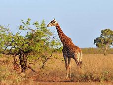 Giraffe-grazing--Africa-Overland-Safaris
