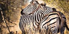 Zebras-Africa-Overland-Safaris--Africa-L