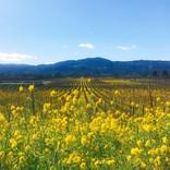 Napa Valley a view from Sliverado Trail 春の畑にマスタードの花が咲き開く