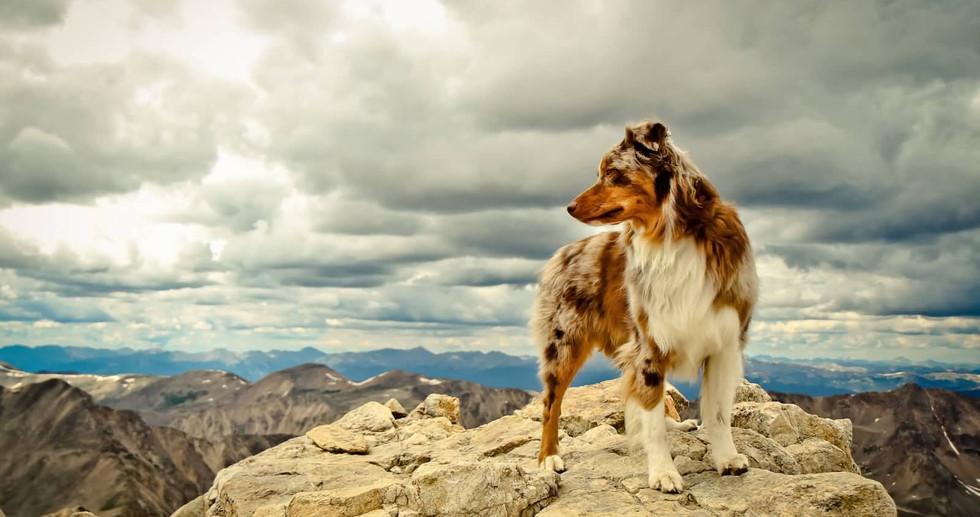 Australian-Shepherd-Dog-Standing-On-Rock