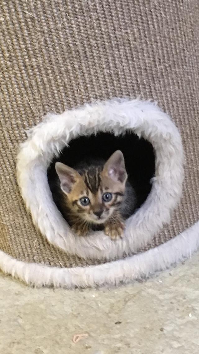 Bengal Kitten Juni 2017