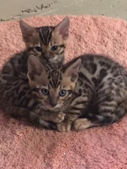 Bengal Kitten 18.Juni 17