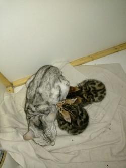 Bengal Katze Argenta mit 2 Jungen