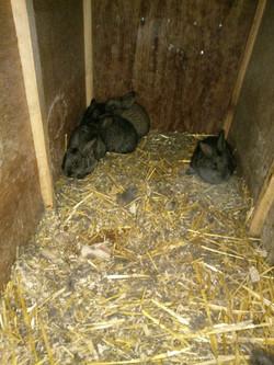 Belgische Riesenkaninchen