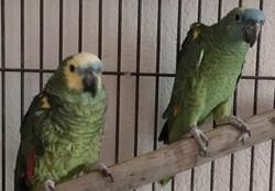 Blaustirn Amazonen-Pärchen