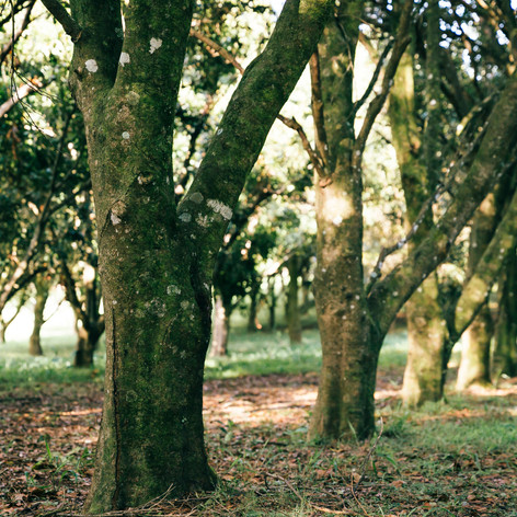 Get Lost In Our Picturesque Macadamia Orchards