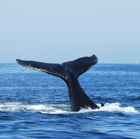 Whale Watching Season In Byron Bay - May To November Every Year