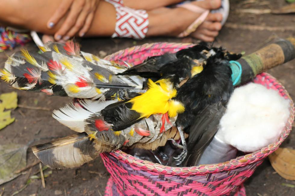 O pássaro sagrado Japinim. Um pássaro que imita o canto de todos os outros pássaros.