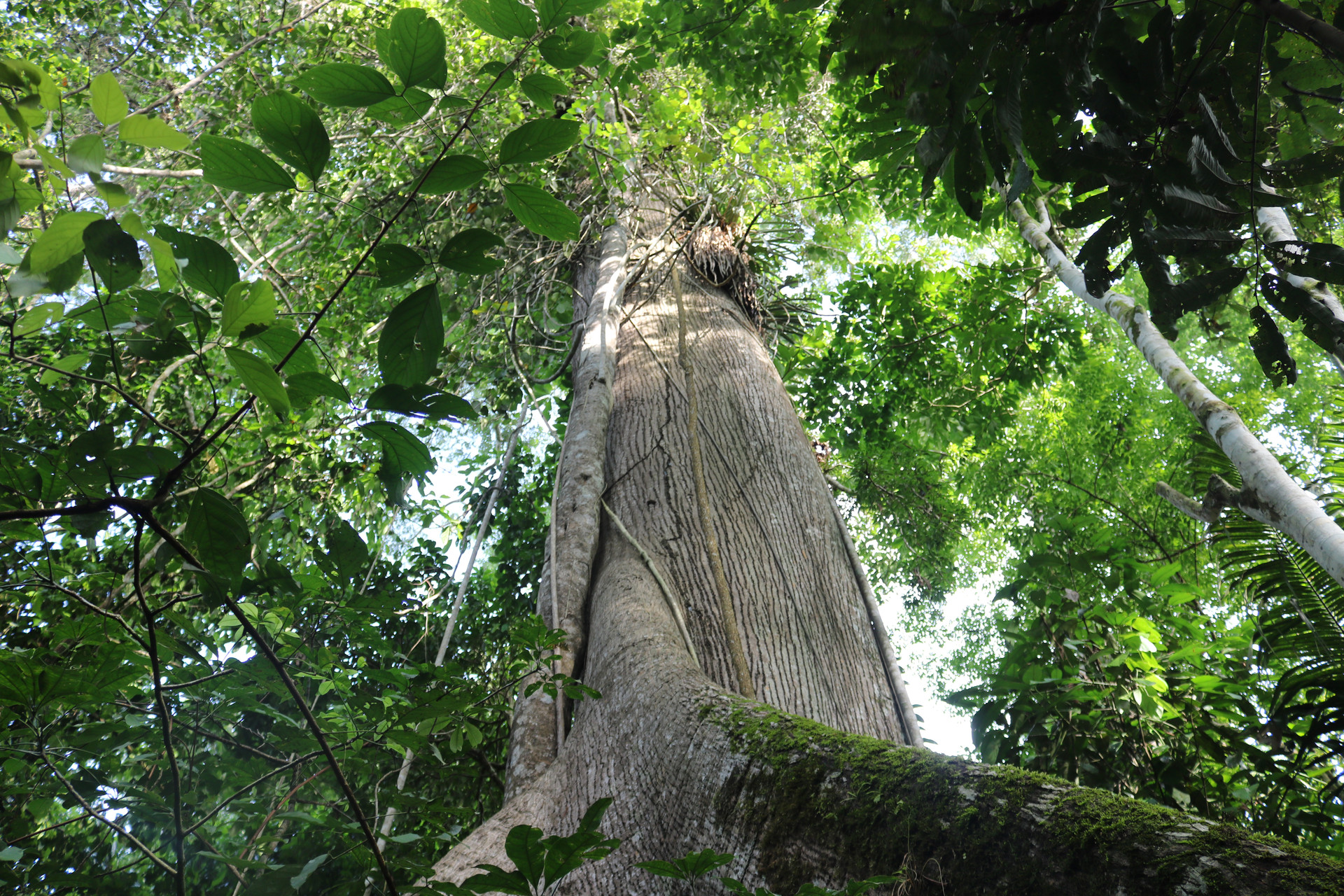 Samaúma Tree - The Queen of the Rainforest