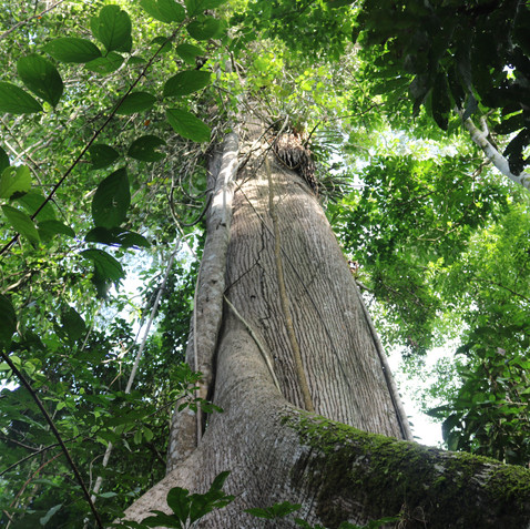 Gallery 1 - Samaúma tree