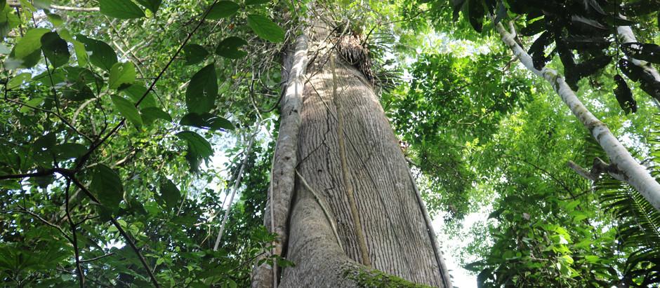 """Der Samaúma-Baum [1] – """"Baum des Lebens"""" und """"Königin des Amazonas-Regenwaldes"""""""