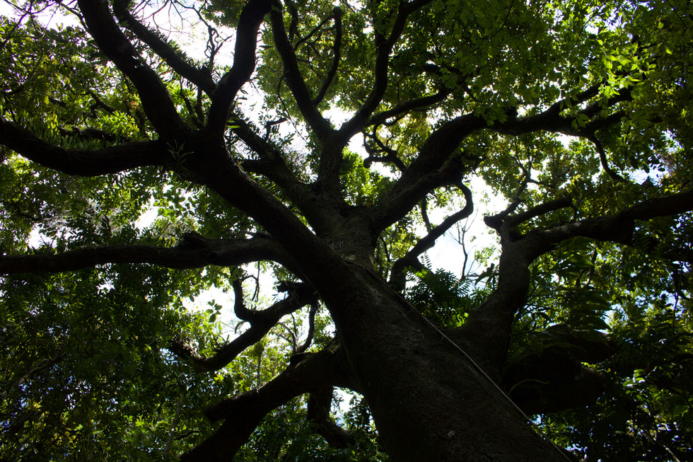 Árvore na Mata Atlântica