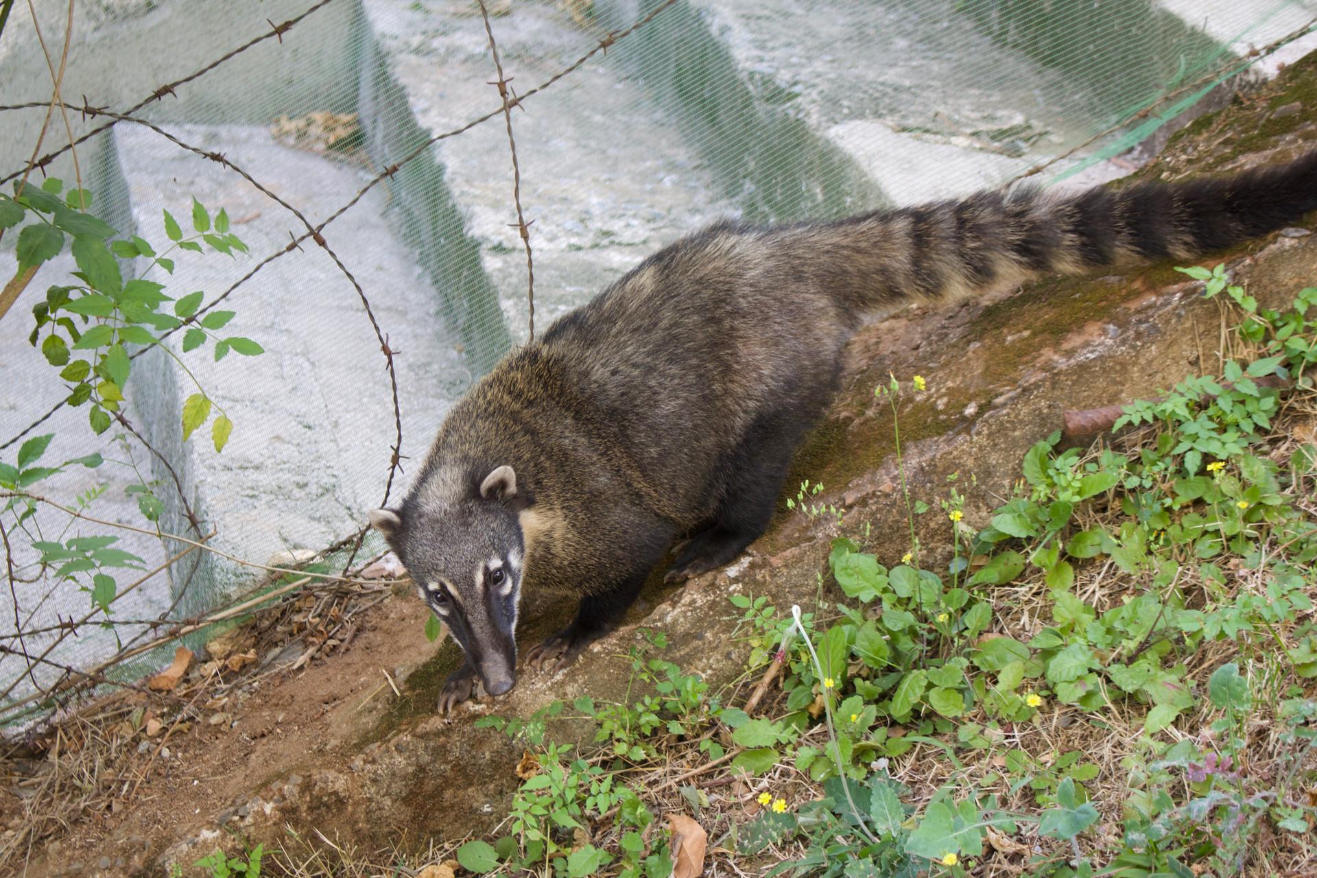 Quati / Coati Animal