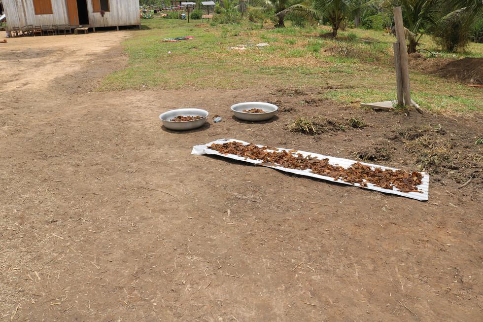 O tabaco é então colocado ao sol para secar.