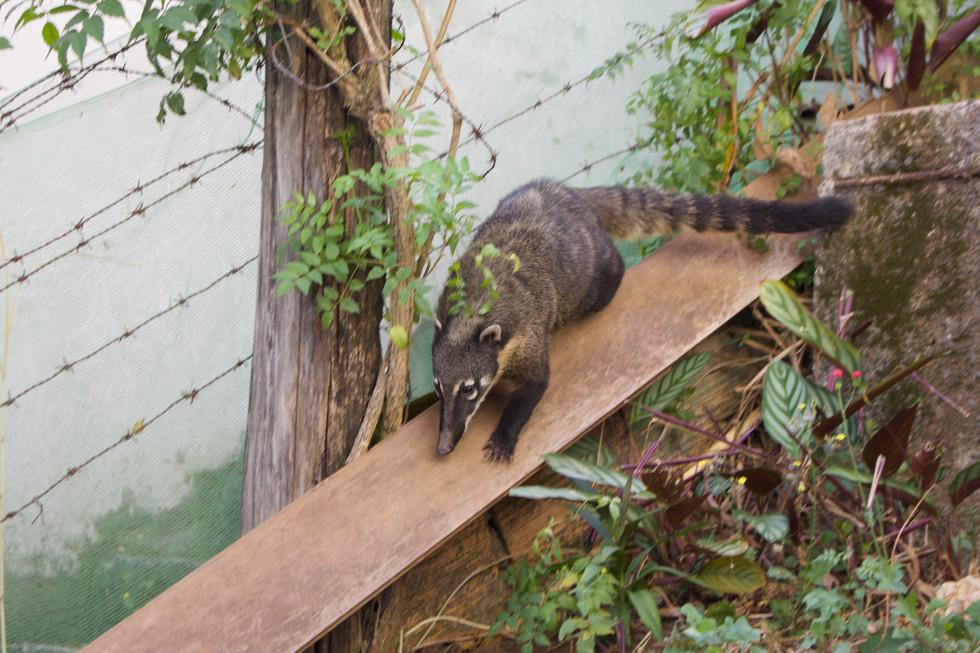 Animal Quati / Coati