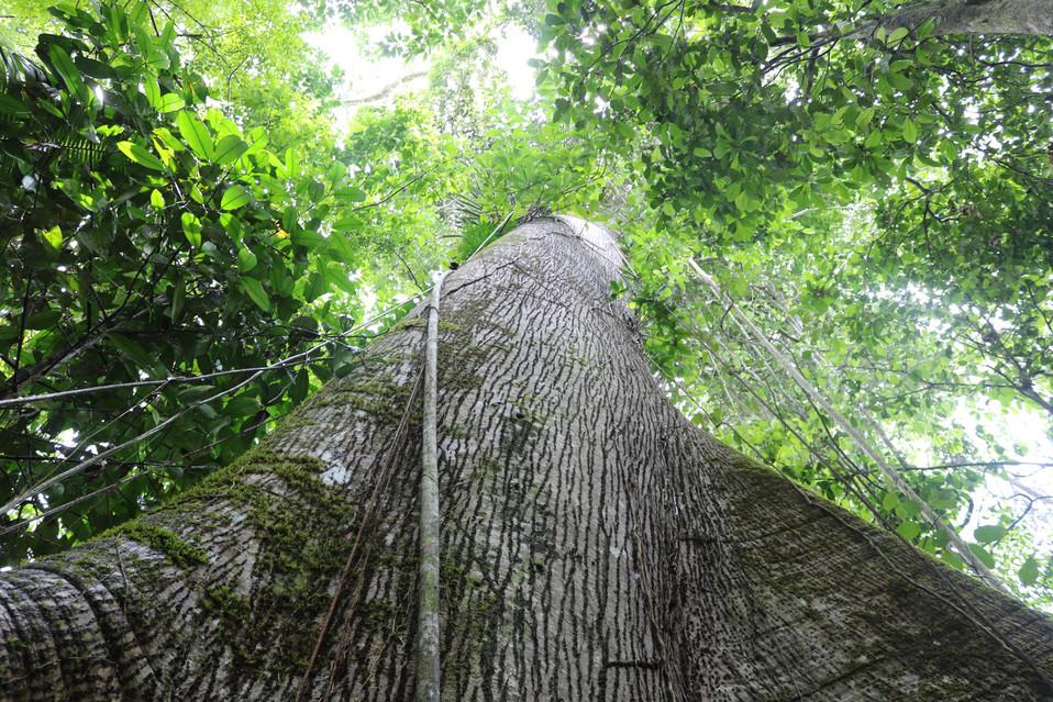Samaúma tree