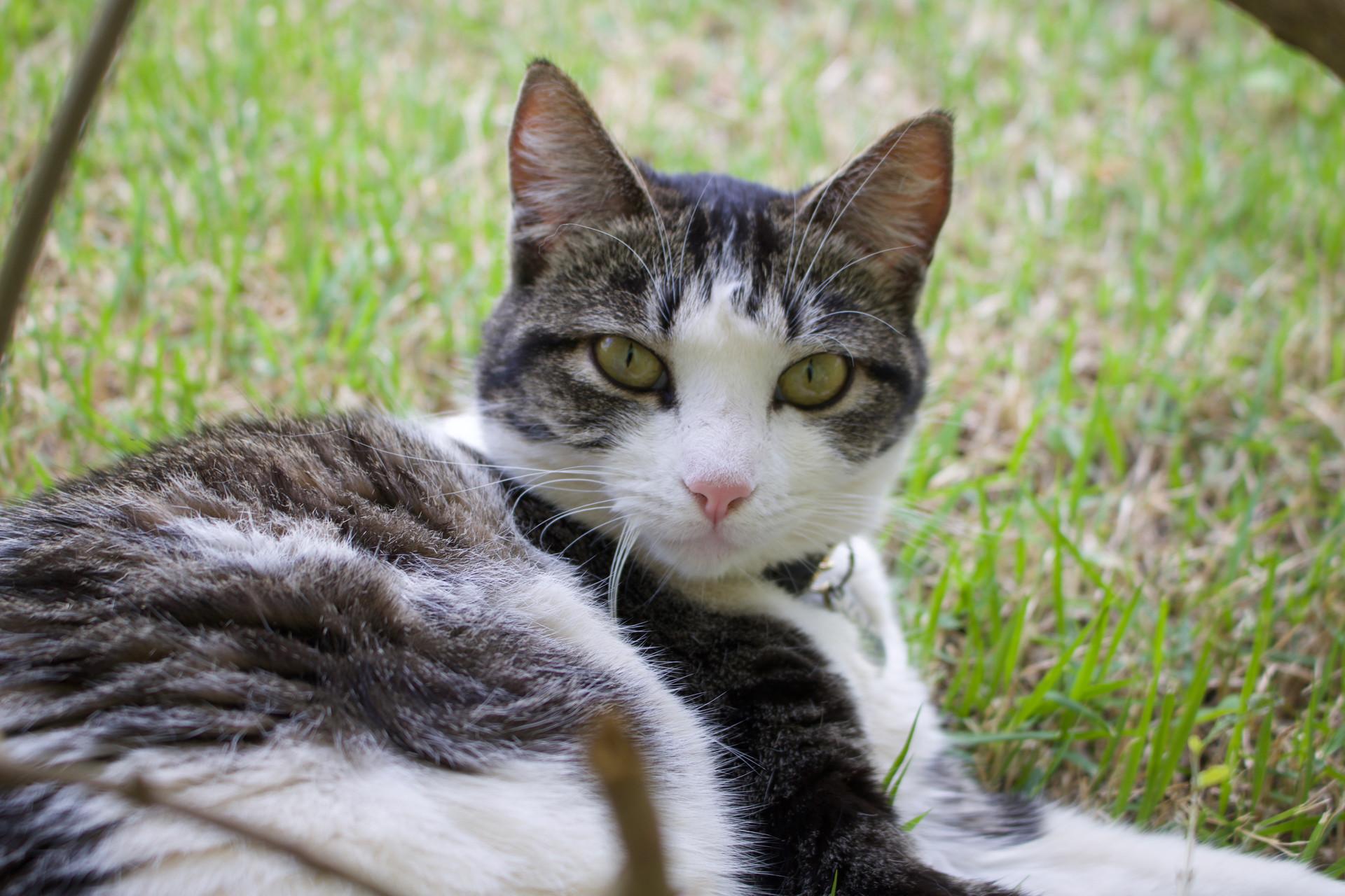 Domestic Cat lying in grass