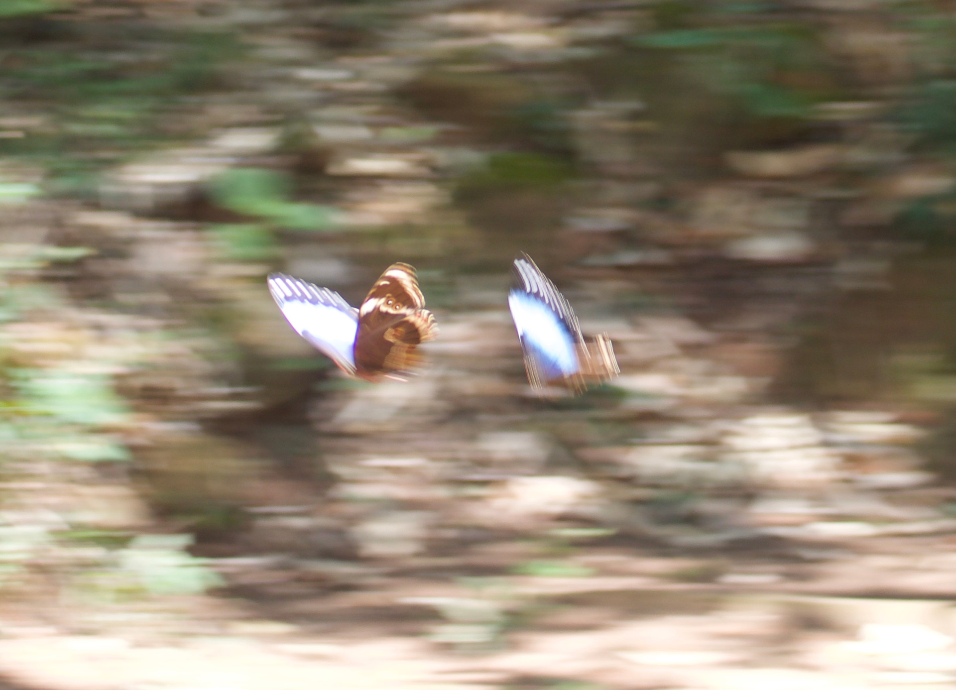 Two big blue butterflies flying together