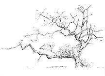 Oak_Drawing.jpg