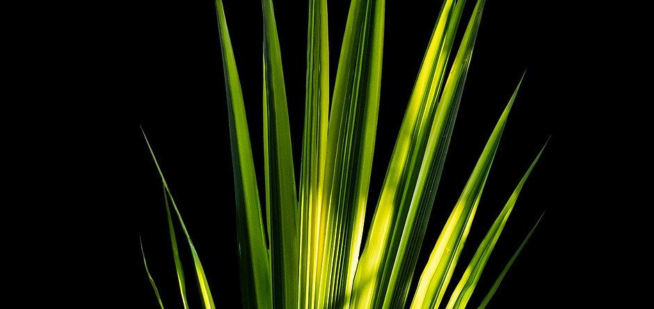 Palmblatt.jpg
