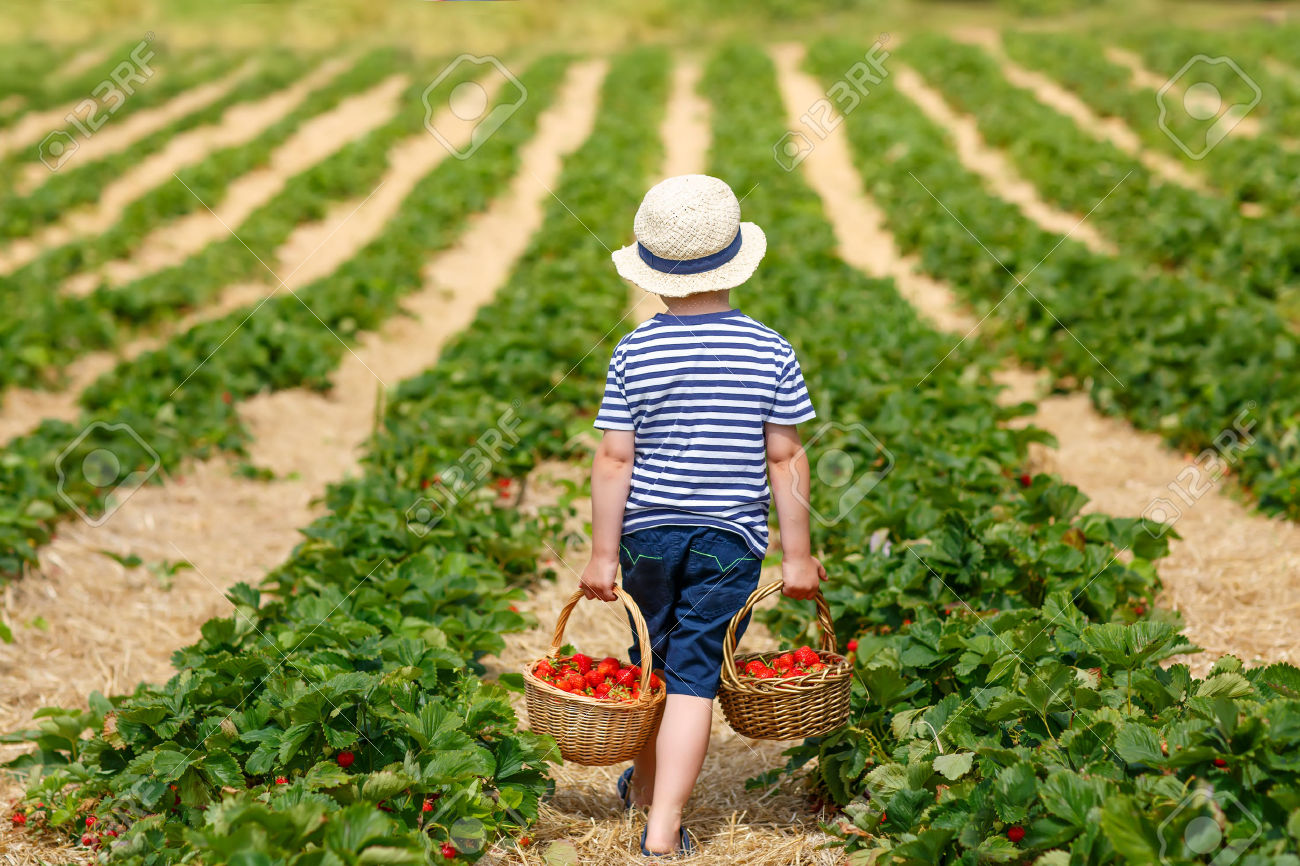 42657699-Funny-little-kid-picking-and-eating-strawberries-on-organic-bio--Stock-Photo